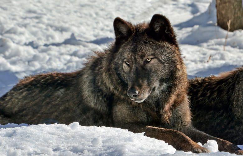 Gray-Wolf-780x500.jpg