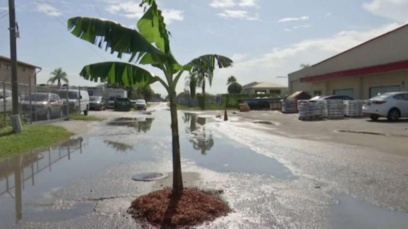 banana-tree.jpg.55ee996315d7629036bfa379
